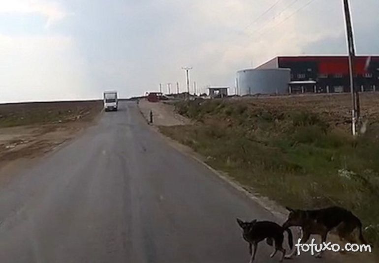 Cachorro puxa o rabo de outro e evita atropelamento