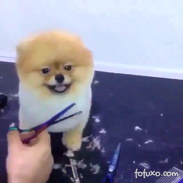 Conheça o cachorro que adora ir para tosa