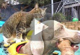 Gato surfa nas costas de cachorro