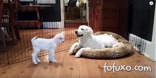Vídeo mostra amizade entre cachorro e cabra bebê