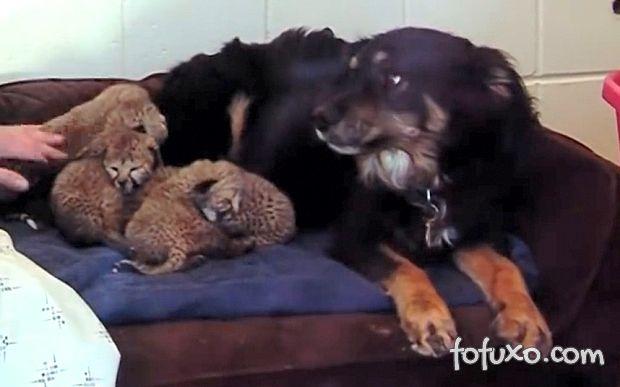 Cadela adota filhotes de guepardo órfãos