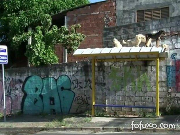 Reportagem curiosa mostra encontro de cães em cima de ponto de ônibus
