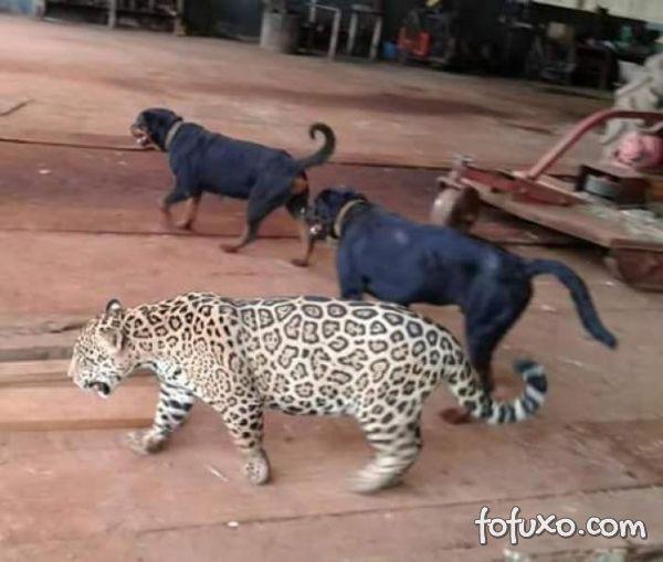 Confira amizade entre cachorro e onça pintada