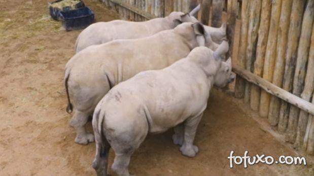 Filhotes De Rinocerontes choram quando o leite acaba
