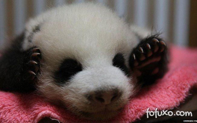 Filhotes de panda dando trabalho para funcionária