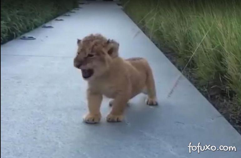O pequeno leão que está agitando a web