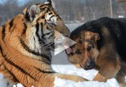 Vídeo mostra imagens de amizade entre cachorro e tigre