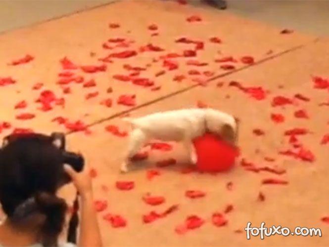 Cachorro bate recorde de estouro de balões