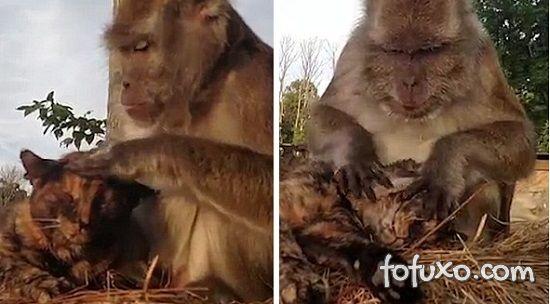 Macaco faz massagem no gato