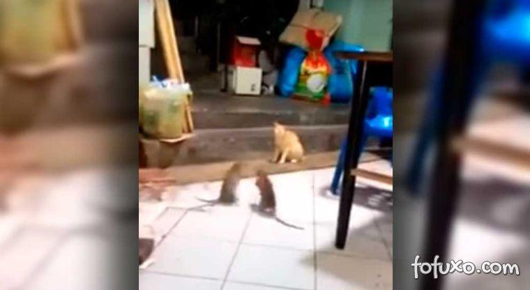 Gato observa luta de ratos
