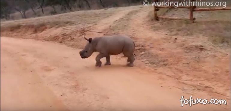 Conheça o filhote de rinoceronte que atende pelo nome