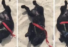Cachorro faz festa ao chegar nas areias da praia