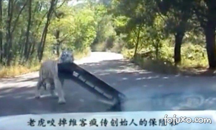 Tigre arranca para-choque do carro