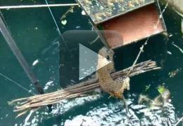 Leopardo é resgatado depois de cair em poço