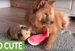 Porquinho-da-índia e cachorro dividem melancia