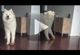Cachorro uiva no ritmo de brinquedo