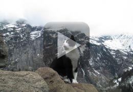 Gato vira guia nos Alpes Suíços