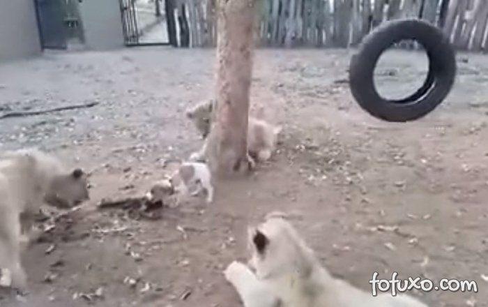 Filhote de cão Vs três filhotes de leão