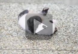 Filhote de panda tenta virar de barriga para baixo