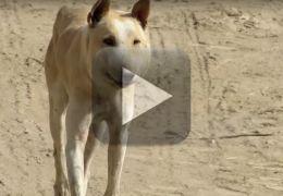 Vídeo mostra antes e depois de cão depois de tratamento da sarna