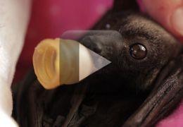 Filhote de morcego comove as redes sociais