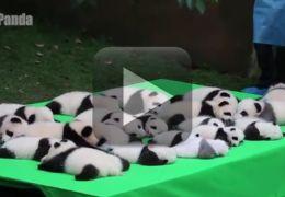 Filhotes de panda encantam internautas