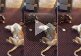 Cachorro se espanta ao ver amigo fingindo de morto