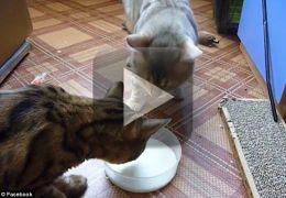 """Gatos brigam """"educadamente"""" por tigela de leite"""