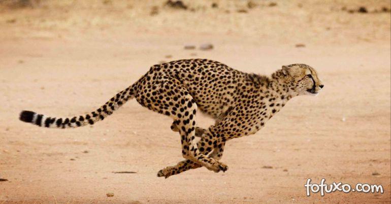 Chita defende filhotes de ataque de leopardo