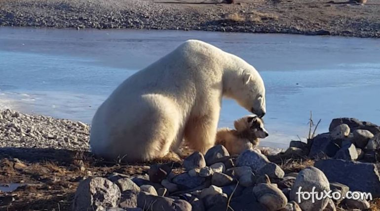 Urso polar flagrado acariciando um cachorro