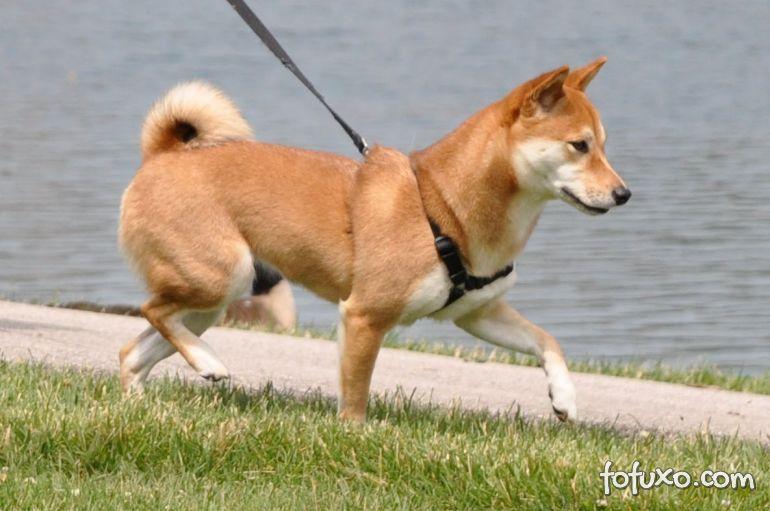 Saiba como fazer quando o cachorro puxa durante o passeio