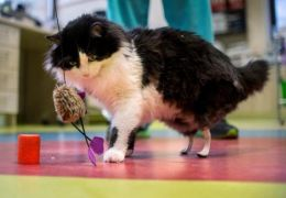 Gato volta a andar com a ajuda de patas biônicas