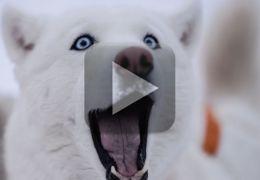Vídeo mostra husky organizando fuga de dentro de uma clinica
