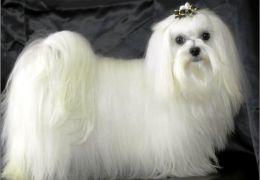 Dicas e cuidados com cães peludos