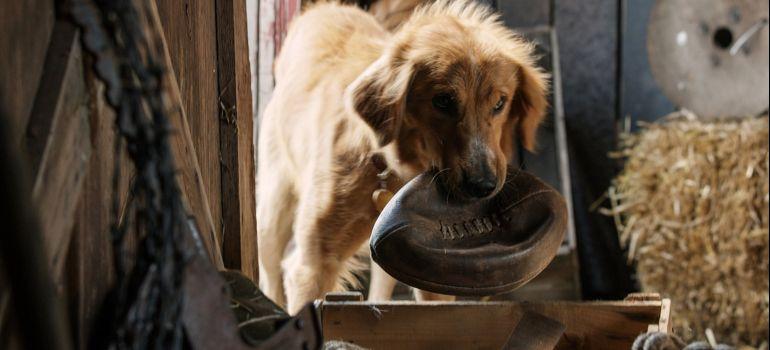 Estudo sugere que cachorros podem ser manipuladores