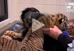 Cachorro adota filhotes de tigres em zoo