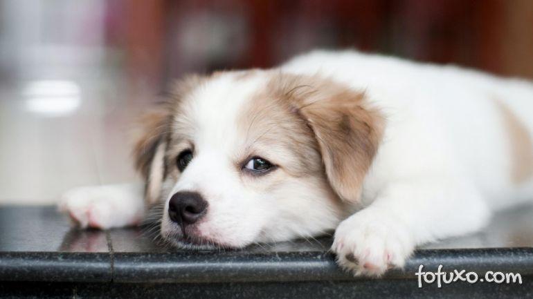 Dicas para ajudar os cachorros que sofrem de estresse - Sa