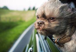 Dicas para levar cachorros agitados no carro