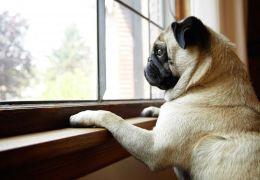 Saiba o que acontece com os cães quando eles ficam sozinhos