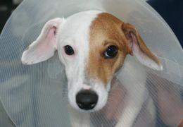 Cachorro passa por cirurgia de mudança de sexo