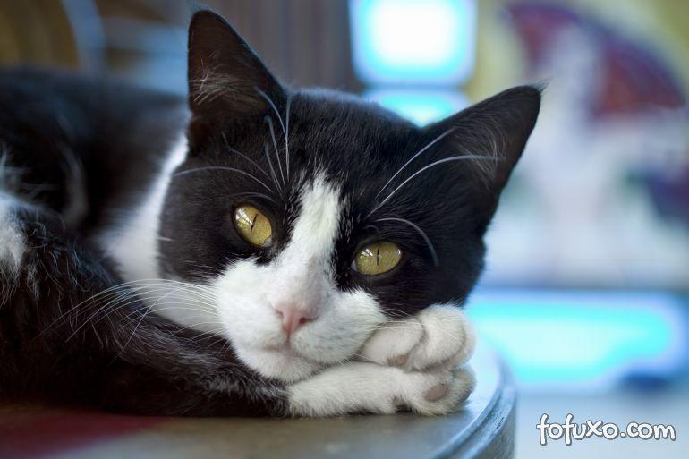 Confira alguns sinais que podem indicar que o gato está sentindo dor