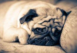 Saiba quanto tempo um cachorro pode ficar sozinho
