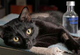 Veterinária utiliza vodca para salvar a vida de gato
