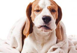 Saiba como identificar dores de cabeça em cachorros