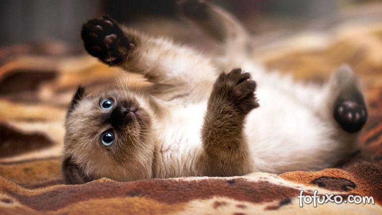 Saiba mais sobre a alimentação do gato siamês