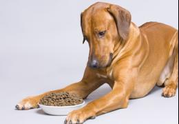 O que fazer quando o cachorro enjoar da ração?