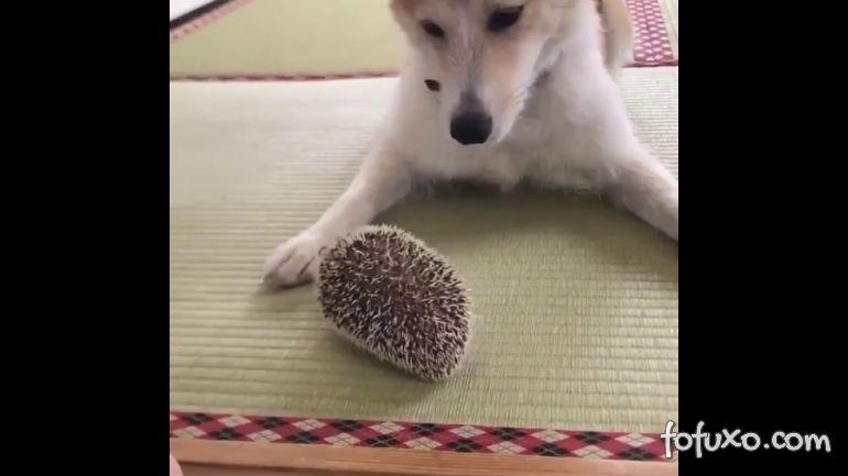 Veja o que acontece quando um cachorro encontra um porco-espinho