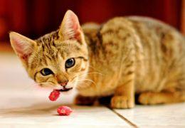 Gatos podem ter intolerância alimentar?
