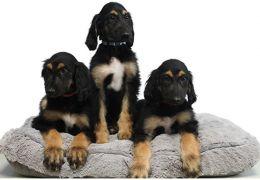 Cientistas anunciam clonagem de cachorro clonado