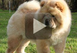 Cachorro chora vendo dona pelo FaceTime